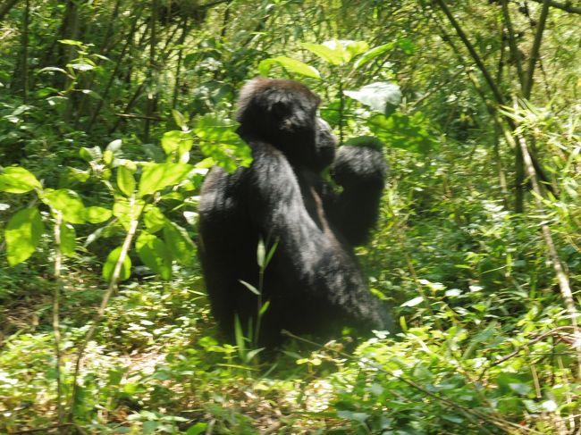 マウンテンゴリラの生息はアフリカの中央、ルワンダ。<br />ヴォルカン国立公園です。<br />首都キガリから車で北西に3時間ほど入ったルヘンゲリに宿を取り、ガイドを伴ってジャングルに入る。<br />7人づつのグループで10組、総勢70名が一日の観光受け入れ人数です。<br />国立公園のセンターで受け付け、どのゴリラのファミリーに会えるかは事務所にゆだねる。<br />近い場所、遠い場所、たくさん歩く場所、どこに当たるかわからない。<br />ファミリーが決まるとガイドが事前に注意や説明をし、4駆に乗って出発する。<br />2400mから2600mくらいの標高です。ファミリーは数匹から数十匹と様々。<br />トレッキングシューズ、雨合羽などを装備にジャングルに入り、ゴリラと遭遇、1時間面会です。<br />おとなしく、数メートルまで接近できます。