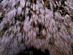 和気町藤公園で日本一の満開の藤を堪能す