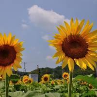 2016夏・青春18きっぷで讃岐まんのう町のひまわり畑を訪ねて・・