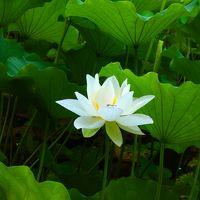 済々と 蓮の花咲く 寺の朝