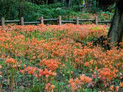 カタクリの山の斜面がオレンジ色に染まる ~三毳山のキツネノカミソリ群生~