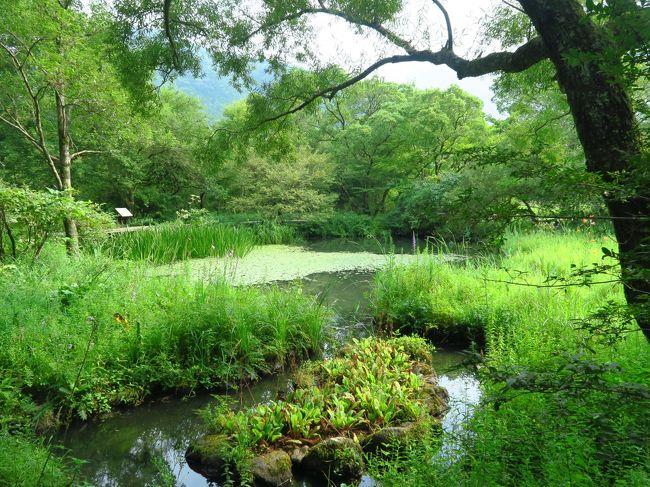 箱根旅行2日目は朝から2つの美術館を見てきましたが、最後は私の希望で仙石原の箱根湿生花園とススキ草原を見に行きました。<br /><br />実は私、住んでいるマンションのガーデニングクラブに入り、マンション花壇の植栽や手入れに夢中になっていまして・・・。<br />ついに今年に入ってガーデンコーディネーターの資格も取りました。<br />植物、特に花を見ることがマイブームなんです。<br /><br /><br />湿生花園もススキ草原も屋外を相当歩くことになるため、天気がネック。<br />雨はもちろん困るけど、天気が良すぎても大変です。<br /><br />この日は幸い曇りがちのお天気で助かりました。<br /><br />仙石原のススキ草原は近年知名度が高まってきていて、ススキの穂が銀色に輝く10月11月のベストシーズンにはかなりの混雑になるそうです。<br /><br />私たちが訪れたのは夏の真っ盛り。<br />ススキはまだ穂も上がっていませんでしたが、青々とした草原もなかなかきれいでした。<br />人っ子一人いないススキ草原も良かったです。<br /><br /><br />これが箱根旅行最後の旅行記になります。<br />どうぞご覧ください。<br /><br /><br /><br />*~*~*~*~*~*~*~*~*~<br /><br /><br />今回の旅程:<br />★印は本旅行記で取り上げた部分<br /><br />一日目 8月10日(水)  箱根登山列車<br />             大涌谷(おおわくだに)<br />             芦ノ湖海賊船クルーズ<br />             箱根関所<br />             箱根神社<br />             強羅温泉「ホテルマロウド箱根」泊<br /><br />二日目 8月11日(祝)  ポーラ美術館<br />             箱根ガラスの森美術館<br />            ★箱根湿生花園<br />            ★仙石原のススキ草原<br />