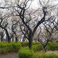 羽根木公園の梅・美登利寿司テイクアウト&愛犬小麦 2012/03/024