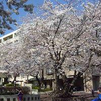 世田谷の桜 2012/04/06