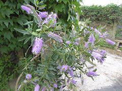 夏の優雅な南イタリア周遊旅行♪ Vol317(第17日) ☆Isola d'Ischia/Fontana:フォンタナからエポメオ火山へハイキング♪花がいっぱい♪