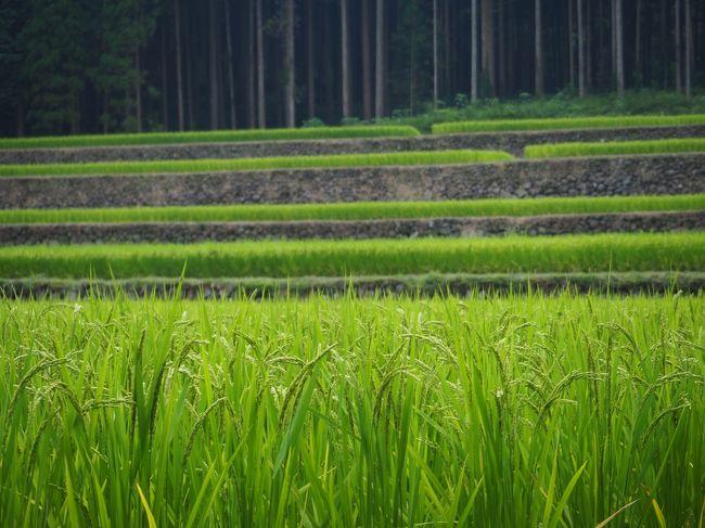 えびの高原を訪れ、西郷隆盛も訪れたという白鳥温泉上湯に入りました。<br />ついでに幸田の棚田も見てきました。もうすぐ収穫の秋ですね。