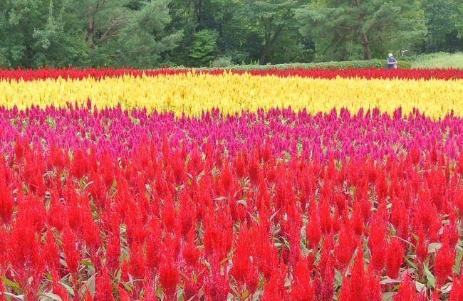 久しぶりに晴れたお出かけ日和の土曜日。<br />ケイトウの花が綺麗に咲いているという国営武蔵丘陵森林公園に行ってきました。<br /><br />西口の広場に今年初めて登場した24000株の色鮮やかな3色の羽毛ゲイトウの花畑や運動広場の色づき始めたコキア、植物園ボーダー花壇のイヌサフランなど少し変わった花を楽しむことができました。