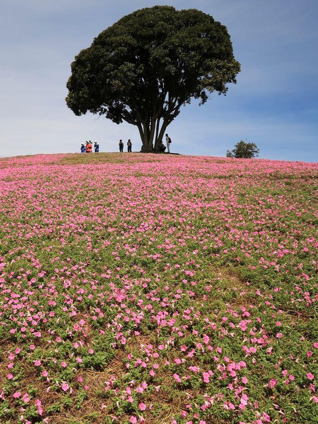 桃色吐息(ペチュニア)<br />2014年から「桃色吐息」の広大な花畑が誕生しました。6月から10月にかけて、標高300mの鹿野山の山肌を鮮やかなピンク色に染めます。<br />花の名前がとても面白いのですが、実はペチュニアを品種改良したものです。南房総出身の園芸家 杉井明美さんと千葉大学との共同開発で生まれた品種で、約5千?に植えられた約2万5千株の桃色吐息は、南房総の山並み九十九谷を背景に美しく咲きます。<br />花と青空と遠くの山々を見ながら、格別の時間をお過ごしください。<br />(http://www.motherfarm.co.jp/location/flower/petunia.php より引用)<br /><br />「マザー牧場」は、千葉県富津市田倉、鹿野山の隣の鬼泪山(きなだやま)の山頂付近に位置する、牧場のテーマパーク。<br /><br />広い園内には牧畜が多種(牛、馬、ヤギ、羊、豚、アヒル、ダチョウ、ラマ、アルパカ等)飼育され、触れ合いを売りにする。約150頭の羊の群れを牧羊犬が誘導する「ひつじの大行進」、羊の毛刈りで有名なシープショーが見られるアグロドーム、東京湾を一望可能な観覧車を擁する遊園地『わくわくランド』、高さ21メートルのバンジータワー、マザー牧場オリジナルの乳製品やハム、ソーセージなどを扱った土産物店、ジンギスカン鍋レストラン、いちご狩り、ブルーベリー狩り、フルーツトマト狩りが楽しめるフルーツ農園、長期滞在も出来る宿泊コテージなどがある。<br /><br />日本電波塔(東京タワーの運営会社)のほか、産業経済新聞社、ラジオ大阪(以上フジサンケイグループ)、関西テレビ放送の創業者で、参議院議員の前田久吉が1962年に開設。「マザー」の由来としては生家が貧しい農家であった前田の母親が「家に牛が一頭でもいたら暮らしはずっと楽なのに」と口癖のように言っていたのが心に残り、母にささげる牧場という事で名づけられた。<br />(フリー百科事典『ウィキペディア(Wikipedia)』より引用)<br /><br />マザー牧場 については・・<br />http://www.motherfarm.co.jp/<br />