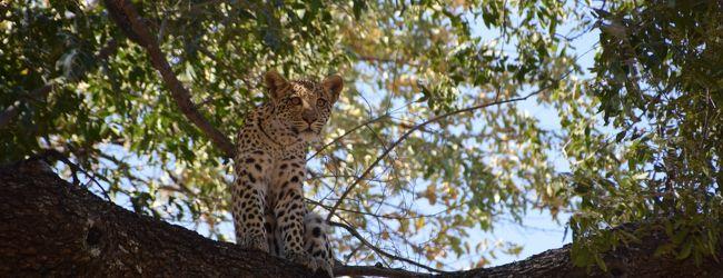 ボツワナ チョベとオカバンゴ湿地帯とサブ...