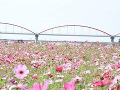 吹上 コスモス畑は…台風に泣く? 頑張って咲いた花達に拍手~♪