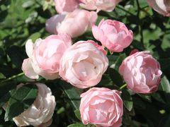 トレジャーガーデン館林 秋バラを探して…2016