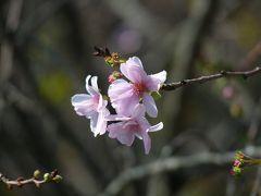 つつじが岡第二公園の10月ザクラ_2016_花数は少ないが綺麗に咲いていました(群馬県・館林市)
