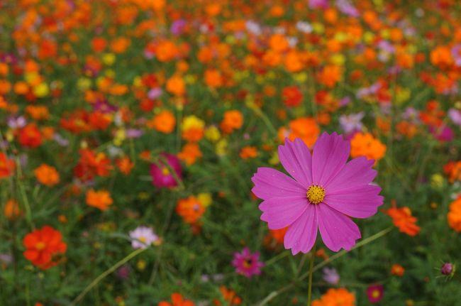 涼しい風が吹き抜ける花の丘で、30万本のコスモスが丘一面に広がります。万博記念公園のコスモスはセンセーションとシーシェルをはじめとする8種類。センセーションは大輪のコスモスで、シーシェルは花びらが筒状になっているのが特徴です。<br /> 秋のすがすがしい空の下、濃紅色やピンク、白の可憐な花が丘一面に揺れる様子が大変綺麗でした。