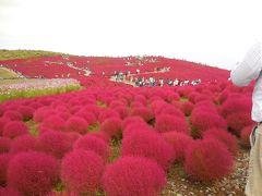 真っ赤に染まるコキアの丘