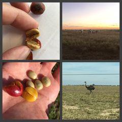 南米大陸「褐色の大地の香り」、ブラジルの大地、コーヒー豆・養豚・コーン畑・肉牛などなど(ミナスジェライス州/ブラジル)