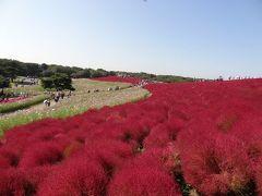 真っ赤なモコモコ絨毯~ひたち海浜公園