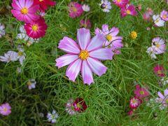 大阪万博記念公園・自然文化園「花の丘のコスモス畑」をホロホロ散歩。(2016)