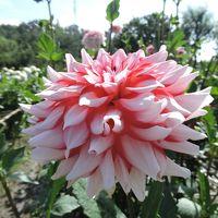 川西ダリア園いつ来てもシャッター押しちゃう鮮やかな花達!