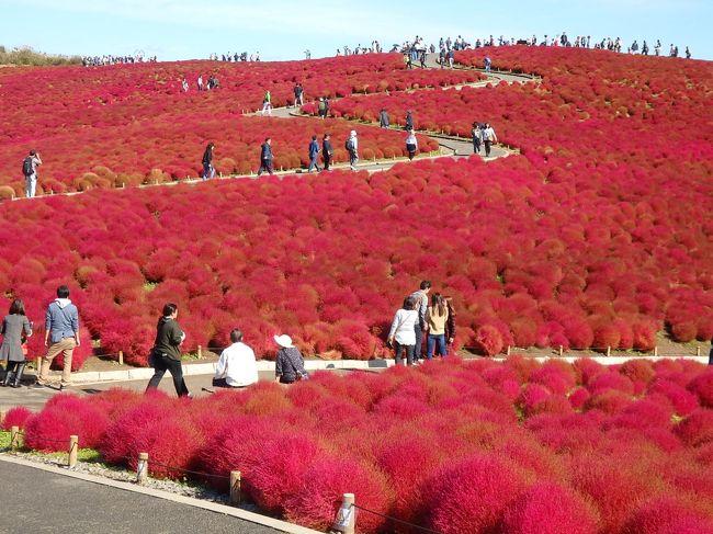以前、旅行記も書きましたが、5月に何年ぶりかの社員旅行で訪れた、国営ひたち海浜公園。<br />終わりかけのネモフィラでもずいぶん感動したので、秋のコキアも見てみたいなー、と思ってました。<br />三春の滝桜や福島の花見山・・お花見とか紅葉は、行く時期がポイントだから、少し前からライブカメラやらツイッターやらを毎日チェックします。<br />三春は桜が咲く前からチェックしていて、途中から、時々そこに写りこんでいる猫に会いに行くという違う目標が出来てしまったり・・(実際会えましたー)<br />今年は花見山のライブカメラをパソコンのお気に入りに入れていたんだけど、ちょっとチェックを怠っていたらある日突然山がピンクになっていて時期を逃しました・・・<br /><br />今回も海浜公園の開花情報をこまめにチェック。<br />ちょうど見頃の先週は用事が出来てどうしても行けず、断念しかけましたが、<br />今週もまだ大丈夫そう。。。なので、急遽行ってきましたー^^