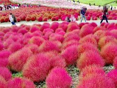 ◎茨城/国営ひたち海浜公園~真っ赤に染まる可愛いふわもこコキアを見に週末ドライブ♪(2016.10)