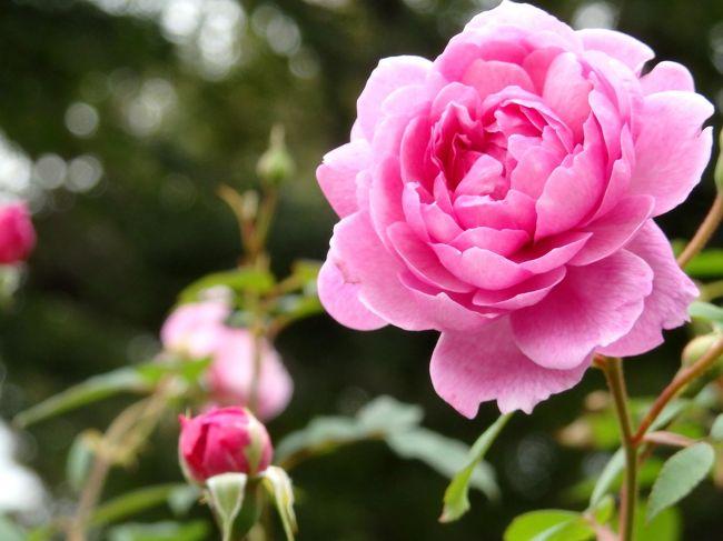 バラを愛でる横浜さんぽ ~中華街 山下公園 港の見える丘公園 ハロウィンの山手西洋館~