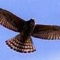鷹の渡りって凄いね !!