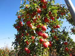 2016.11 りんご収穫