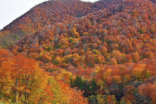 10年以上も前の秋に、秋田~田沢湖~八幡平~十和田湖にドライブしたが、余り見事な紅葉に出会わなかったので、機会があれば東北地方の紅葉に再挑戦をと前々から考えていた。<br /><br />10月下旬に仙台まで行く用が出来たので、ドライブの目的地は明確ではなかったものの、この時期は仙台周辺ではまだ紅葉には早く、八幡平や十和田湖周辺では見頃は過ぎていると思い、一関から秋田方面にレンタカーで山越えをすれば丁度良い見頃の紅葉に出会うだろうとの思惑で一関のホテルを予約していた。直前のインターネットの紅葉情報では、栗駒山が「見頃」となっていたので、予定通りこの方面に行くことに決定(一関周辺は全く紅葉していない)。<br /><br />前日は、仙台からJR在来線で一関へ行き、駅前ホテルに宿泊。<br /><br />当日はお天気も良く、絶好の紅葉ドライブ日和となった。レンタカー営業所の女性は、「栗駒山や須川温泉辺りは丁度見頃でしょうが、渋滞があるかもしれないので気をつけてください」と地図をくれた。その地図には、なんと「須川温泉手前では、ピーク時には最大5km4時間の渋滞の可能性あり」と書いてある。この日の予想を聞いてみたが、もちろん確かな返事はしてくれない。夕方までに一関~須川温泉~ジュネ栗駒(スキー場)~奥州市~一関の周回コース約200kmを巡る予定であるが、渋滞に出会えば最悪途中でUターンと腹を決めて出発。<br /><br />結果は、渋滞は全くなく予定通り順調にドライブ出来、見事な紅葉に遭遇!楽しい紅葉ドライブとなった。<br /><br /><br /><br /><br />