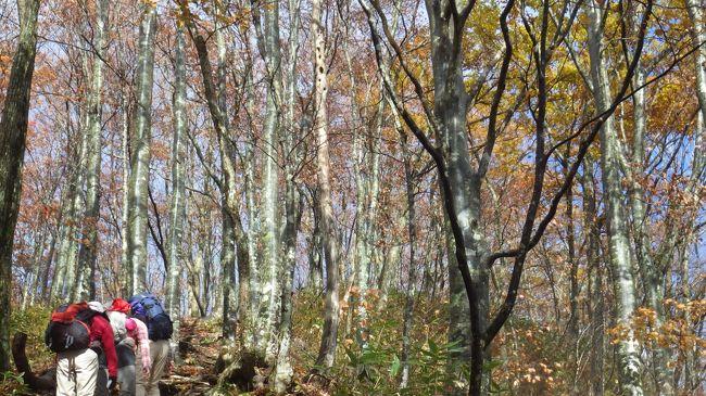 山仲間に誘われ、大日ケ岳に登ってきました。今年の紅葉は良くないと云わていますが、R156号線がらひるが野高原当たりは見事な紅葉でした。ブナの黄葉は終り、落葉とかし落ち葉を踏んでの山登りです。このコースは白山展望の登山道ですが、雲が厚く白山は顔を出してくれませんでした。