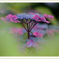 Solitary Journey [1784] 青や白などの紫陽花が色とりどりに咲き揃う三景園の初夏を満喫して来ました。<三景園花まつり>広島県三原市