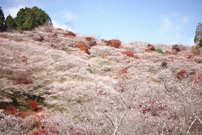 紅葉前線が、あっという間に駆け抜けていく。<br /><br />2年ぶりに、川見の里の四季桜と紅葉を見てきました。<br />山全体に1200本の四季桜が植えられていて、全国的にも珍しい紅葉とのコラボが楽しめれる。<br /><br />四季桜は、年に二度開花する。エドヒガンとマメザクラの交雑種と考えられている。<br />一重で小さいので、春の桜より、寂しい感じは否めない。<br /><br /><br />小原観光協会HP<br /><br />http://www.kankou-obara.toyota.aichi.jp/?cat=4<br /><br />四季桜まつりは、11月30日までです。