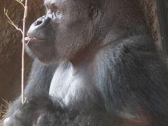 上野動物園-5 東園 ニシローランドゴリラ 群れ飼育 ☆悠然とした風貌で