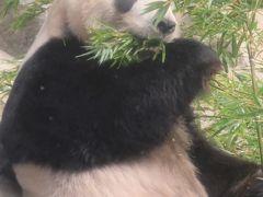 上野動物園-6 ジャイアントパンダ お食事中に ☆ササの葉が大好物