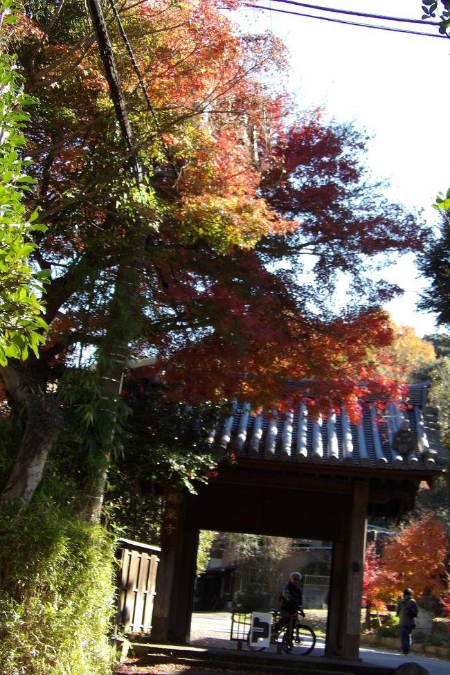 瑞泉寺は一番遅い紅葉で知られているとTVで何度か放送していた。なるほど、惣門辺りのもみじの紅葉は今も盛りといった感じだ。<br /> 瑞泉寺から上って天園ハイキングコースへと向かう。尾根の三叉路からは多くの人たちのグループが下りて来、上で休んでいるグループもいる。「富士山は見えますか?」と尋ねると、建長寺辺りでは見えたという。ここでは富士山を見たことがある人たちはいないようだ。もう何度も足を運んで来ているのに、果たしてこの場所は富士山のビュースポットであるのかないのか?<br /> 貝吹地蔵を越え、富士山の展望スポットの杉の丸太のベンチ前から眺めるが、雲が湧き出ており、その山容は見えない。それでも、裾野のなだらかな稜線が見えているか隠れているのか、まじまじ見ていると、一人歩きのおばさんが来て、富士山の方向や左右に見える山の名前を聞かれたが丹沢以外は知らない。この天園ハイキングコースの天園辺りの富士山のビュースポットを教えると乗ってきた。源頼朝自刻像や平(北条)政子自刻像があり、頼朝と政子の顔はそれらしいく見えることや、獅子舞手前の切通から円海山までの山道が馬が通れるように整備されたことなどを話たら、少し長話になってしまった。また、タンポポが大好きともいっていたが、その知識は初心者程度であった。日本人はタンポポ好きだと言われるが、その知識がある訳ではない。シロバナタンポポも知らなくてもタンポポ好きは多い。<br /> この富士山のビュースポットを過ぎるといよいよ人がまず通らない山道に入るのだ。<br />(表紙写真は瑞泉寺惣門の紅葉)