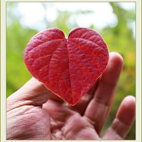 Solitary Journey [1828] ハート形の葉っぱが可愛いベニマンサクが紅葉の見頃を迎えていました。<おおの自然観察の森>広島県廿日市市