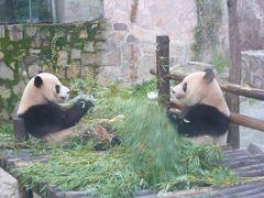2歳10ヶ月の娘を連れて中国江蘇省5日間の旅9-娘の初パンダは上海動物園で