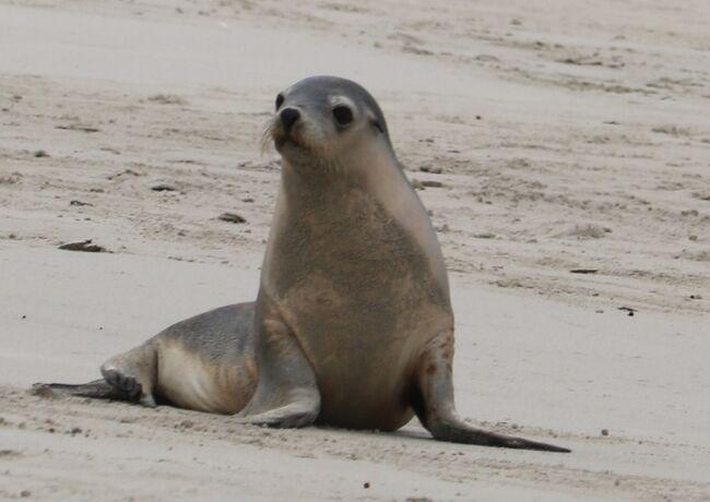 カンガルー島→アデレード夫婦旅行 3日目(Seal Bay)