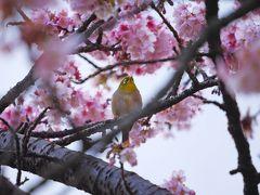 「あたみ桜」を見に、ふら~っと熱海へ!