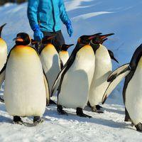 モーレツ寒波に負けないっ。君とイク、ZOO♪旭山動物園のペンギン散歩が楽しいっ♪