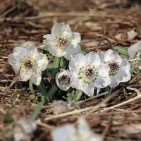 早春の花の妖精を求めて久しぶりに昭和記念公園へ~スノードロップとセツブンソウが撮りたい!