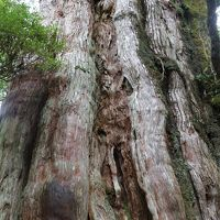 楽に見られる立派な屋久杉・紀元杉