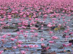 絶景!ピンクの睡蓮の海 タレーブアデーンへはツアーが便利