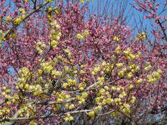 つつじが岡公園のウメ_2017_白梅は咲き始め、紅梅は見頃過ぎ、ロウバイは8分咲き程度で見頃だった。(群馬県・館林市)