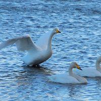 今年も多々良沼に飛来した白鳥を見に出かけました