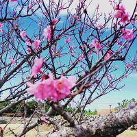 私の願いが叶った沖縄旅!念願のホエールウォッチングと寒緋桜と絶景カフェをリベンジ。
