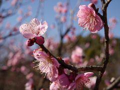 """東京・府中市郷土の森博物館の都内最大規模""""約60種1100本の梅園""""を訪れて"""