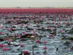 桜子さんの気ままな旅 ウドンターニー 赤い蓮の湖 タレーブアデーン編