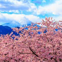 春はすぐそこまで!?~まつだ桜まつり(西平畑公園)・菜花まつり(あぐりパーク嵯峨山苑)~
