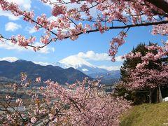 もう満開で~す♪松田山の桜