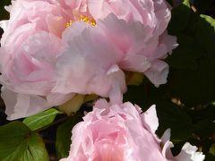 冬牡丹♪上野東照宮「ぼたん苑」 Vol.3 可憐に咲く冬牡丹を優雅に鑑賞♪
